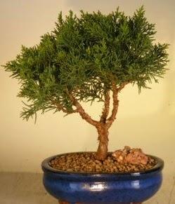Servi çam bonsai japon ağacı bitkisi  Mersin anneler günü çiçek yolla