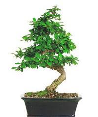 Bonsai bitkisi satışı  Mersin çiçek online çiçek siparişi