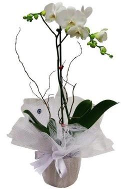 Tek dallı beyaz orkide  Mersin çiçekçi telefonları