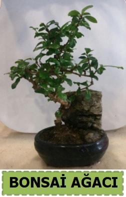 Bonsai ağacı japon ağacı satışı  Mersin güvenli kaliteli hızlı çiçek