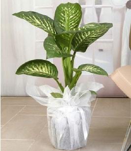 Tropik saksı çiçeği bitkisi  Mersin çiçek servisi , çiçekçi adresleri