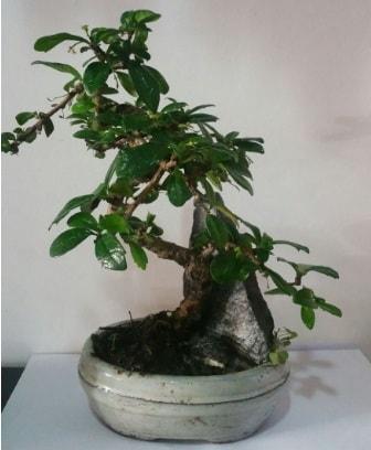 S şeklinde ithal bonsai ağacı  Mersin anneler günü çiçek yolla