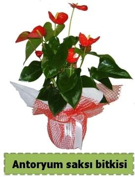 Antoryum saksı bitkisi satışı  Mersin çiçek mağazası , çiçekçi adresleri