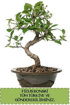 Ficus bonsai  Mersin 14 şubat sevgililer günü çiçek