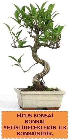 Ficus bonsai 15 ile 25 cm arasındadır  Mersin anneler günü çiçek yolla