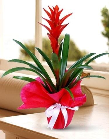 Guzmanya Saksı Çiçeği  Mersin anneler günü çiçek yolla