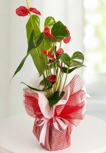 Anthurium Saksı Çiçeği  Mersin güvenli kaliteli hızlı çiçek