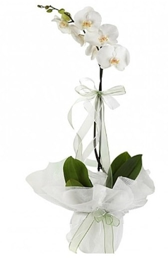 Tekli Beyaz Orkide  Mersin güvenli kaliteli hızlı çiçek