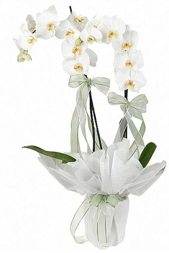 Çift Dallı Beyaz Orkide  Mersin hediye çiçek yolla