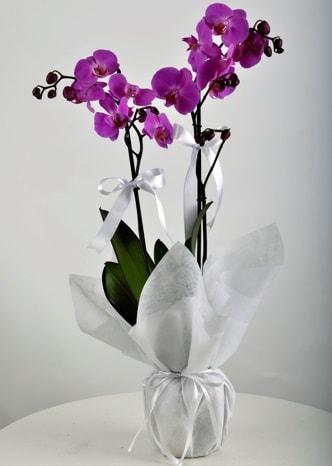 Çift dallı saksıda mor orkide çiçeği  Mersin çiçek yolla