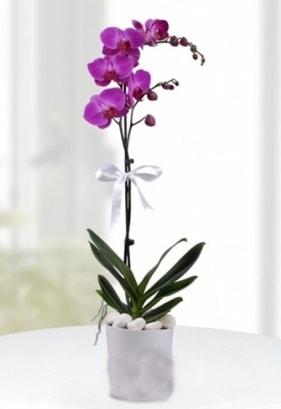Tek dallı saksıda mor orkide çiçeği  Mersin İnternetten çiçek siparişi