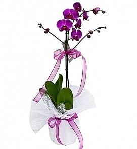 Tek dallı saksıda ithal mor orkide çiçeği  Mersin İnternetten çiçek siparişi