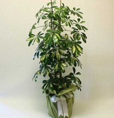 Şeflera salon bitkisi  Mersin hediye sevgilime hediye çiçek