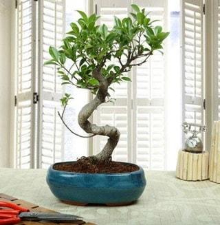 Amazing Bonsai Ficus S İthal  Mersin çiçek gönderme sitemiz güvenlidir