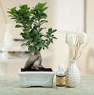Ginseng ficus bonsai  Mersin İnternetten çiçek siparişi