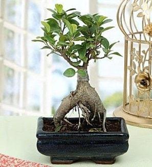 Appealing Ficus Ginseng Bonsai  Mersin hediye çiçek yolla