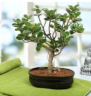 Lovely Ficus Iceland Bonsai  Mersin hediye çiçek yolla
