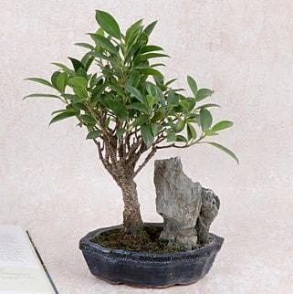 Japon ağacı Evergreen Ficus Bonsai  Mersin 14 şubat sevgililer günü çiçek