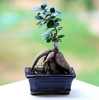 Marvellous Ficus Microcarpa ginseng bonsai  Mersin çiçek yolla