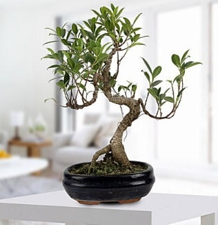 Gorgeous Ficus S shaped japon bonsai  Mersin online çiçek gönderme sipariş