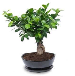 Ginseng bonsai ağacı özel ithal ürün  Mersin çiçek yolla , çiçek gönder , çiçekçi