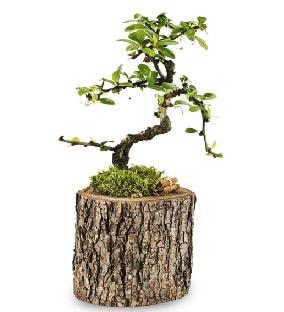 Doğal kütükte S bonsai ağacı  Mersin çiçek servisi , çiçekçi adresleri
