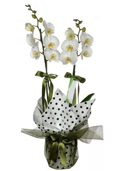 Çift Dallı Beyaz Orkide  Mersin ucuz çiçek gönder