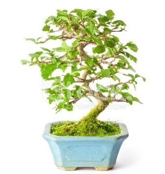 S zerkova bonsai kısa süreliğine  Mersin uluslararası çiçek gönderme