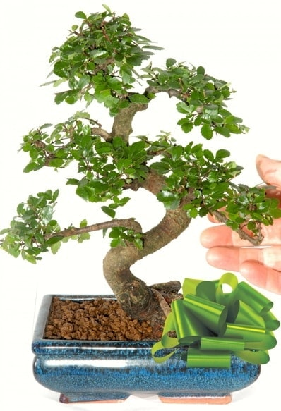 Yaklaşık 25 cm boyutlarında S bonsai  Mersin online çiçekçi , çiçek siparişi