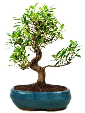 25 cm ile 30 cm aralığında Ficus S bonsai  Mersin 14 şubat sevgililer günü çiçek