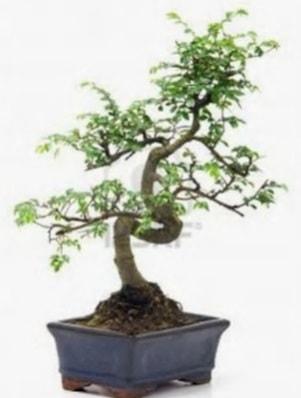 S gövde bonsai minyatür ağaç japon ağacı  Mersin çiçek servisi , çiçekçi adresleri