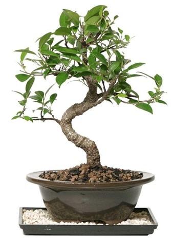 Altın kalite Ficus S bonsai  Mersin çiçek online çiçek siparişi  Süper Kalite