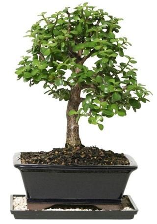 15 cm civarı Zerkova bonsai bitkisi  Mersin online çiçekçi , çiçek siparişi