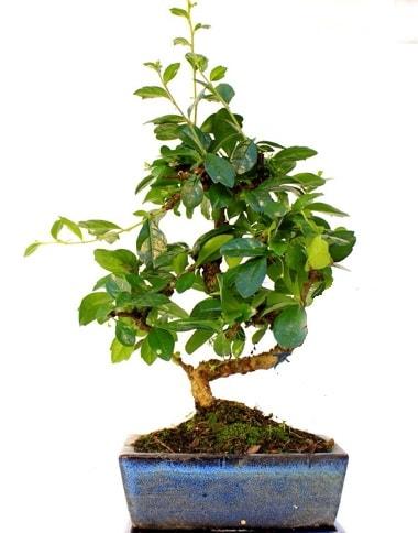 S gövdeli carmina bonsai ağacı  Mersin anneler günü çiçek yolla  Minyatür ağaç