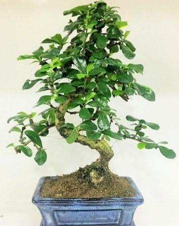 Zelkova S gövdeli Minyatür ağaç Bonzai  Mersin hediye sevgilime hediye çiçek