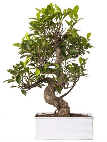Exotic Green S Gövde 6 Year Ficus Bonsai  Mersin 14 şubat sevgililer günü çiçek