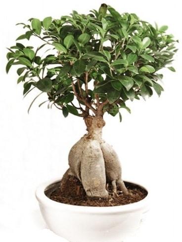 Ginseng bonsai japon ağacı ficus ginseng  Mersin uluslararası çiçek gönderme