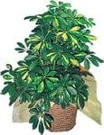 Mersin çiçek gönderme sitemiz güvenlidir  Schefflera gold